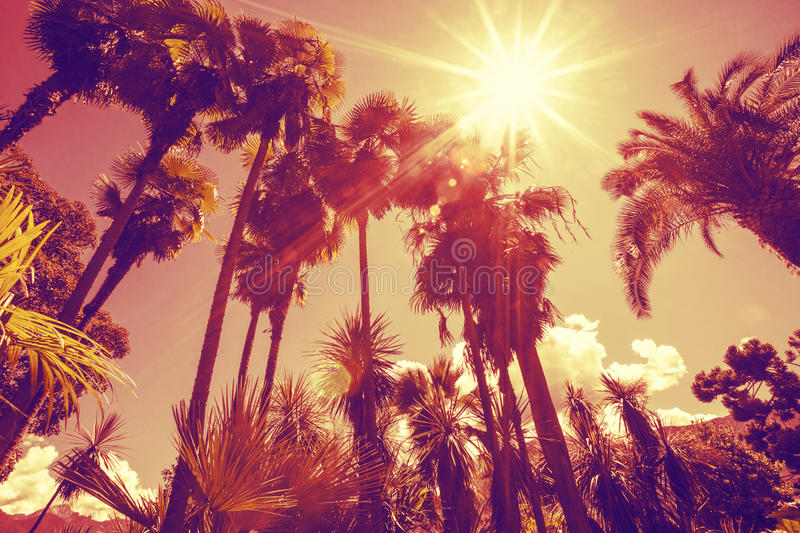 Sun shining through tall palm trees. stock images