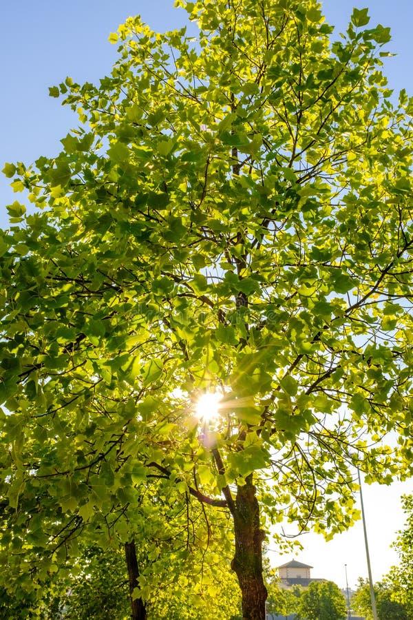 Sun shining thru green leaves tree branch on a summertime landscape scene. Sun shining thru green leaves tree branch on a summertime landscape royalty free stock images