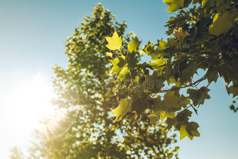 Sun shining thru green leaves tree branch on a summertime landscape scene. Sun shining thru green leaves tree branch on a summertime landscape stock photos