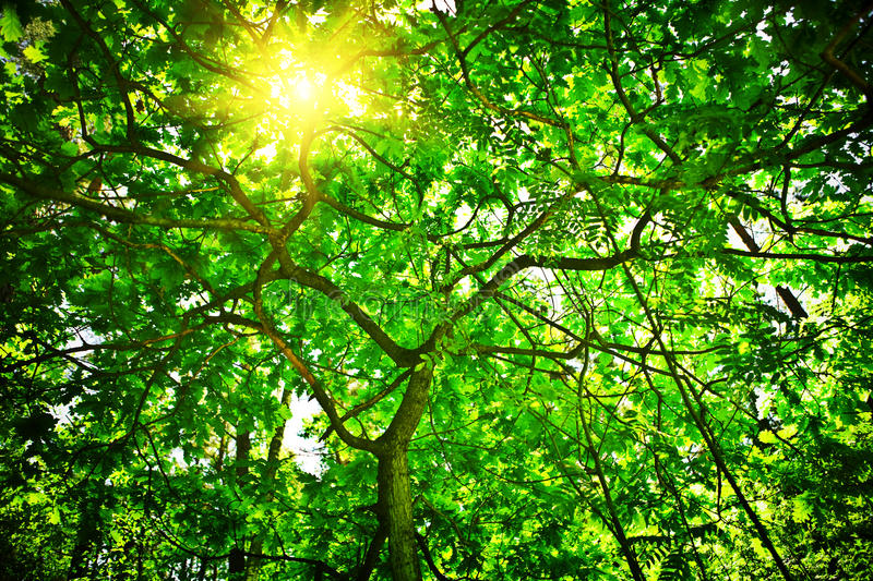 Sun shining through tree. Scenic view of sun shining through leafy green oak tree royalty free stock image