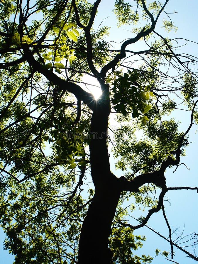 Sun Shining Through Tree Royalty Free Stock Images