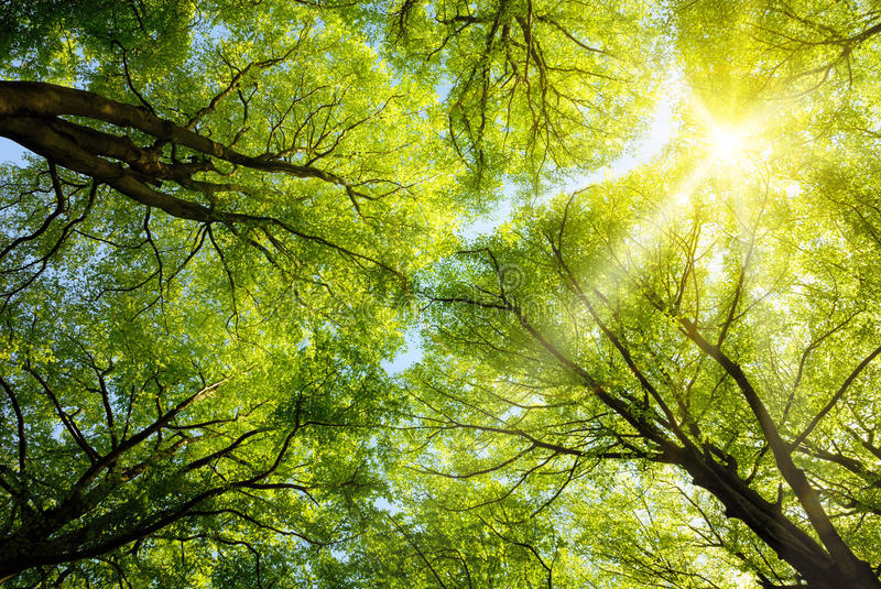 Sun shining through treetops. The warm spring sun shining through the canopy of tall beech trees royalty free stock photo
