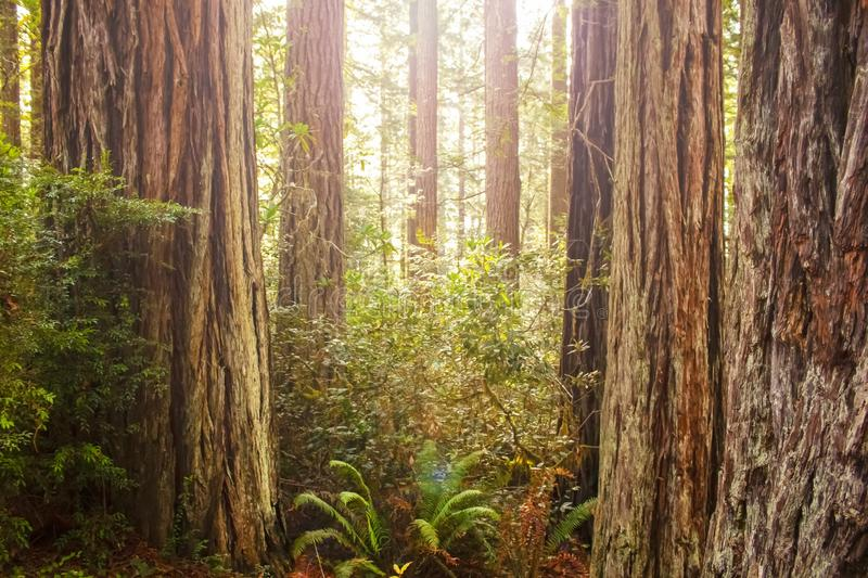 Sun shinning through the canopy in an ancient redwood forest with trunks of trees and ferns - light flare royalty free stock photos