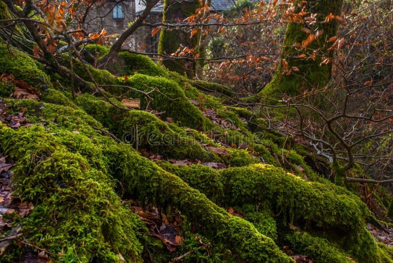 The Sun skiner till och med v?ldigt gammalt boktr?dtr?d i den gr?na skogen, Moss Covered Roots royaltyfri bild