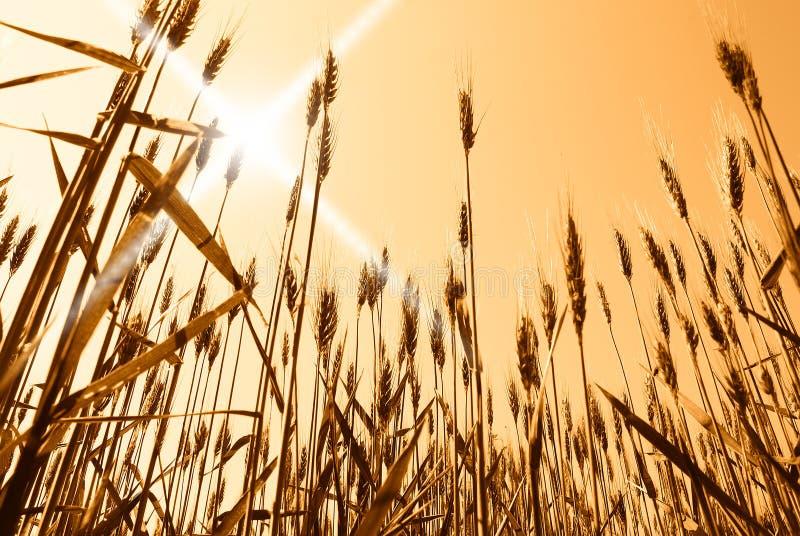 Sun sobre campo de grano fotografía de archivo