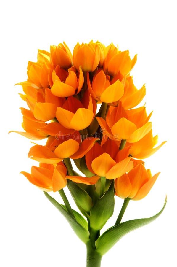 Download Sun Star stock photo. Image of orange, close, ornithogalum - 24506114