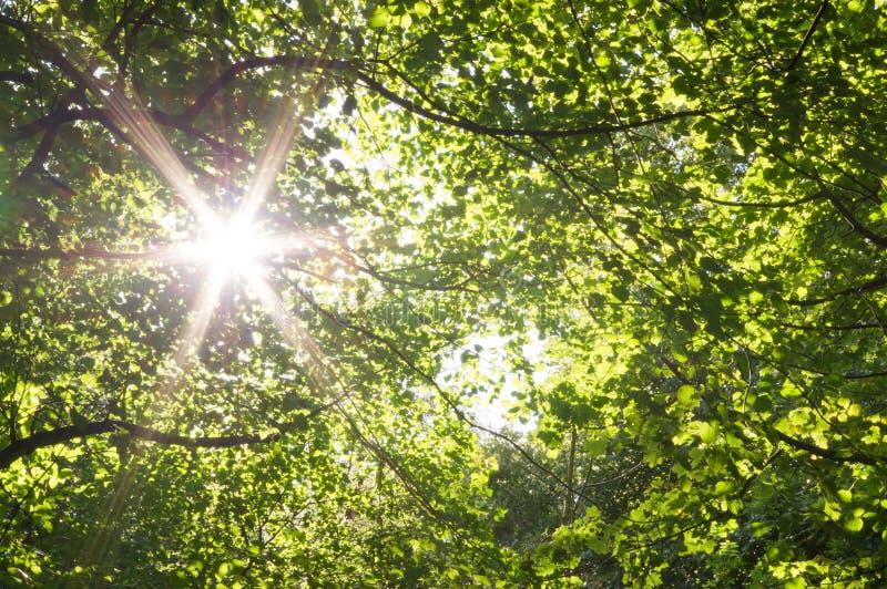Sun star through woodland canopy stock photo