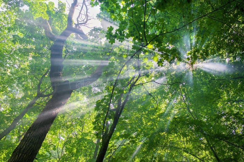 Sun strålar till och med treesna arkivbild