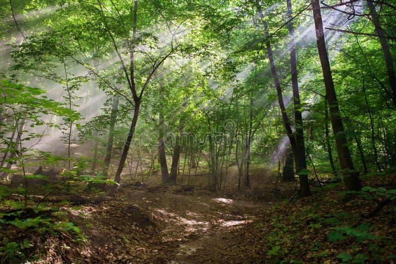 Sun strålar till och med treesna royaltyfri fotografi