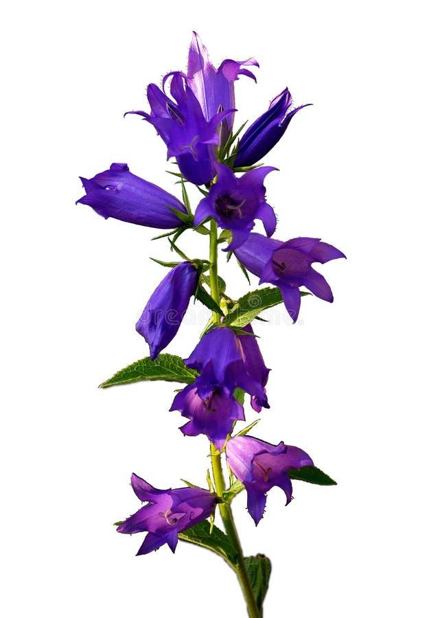 Sun-Strahl Ñ  aressing Blumenblätter der Glockenblume lokalisiert vom Hintergrund stockfotografie
