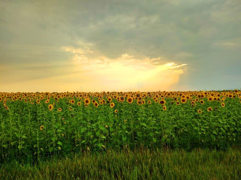 Sun-Strahlen, die das Feld von Blumen umarmen stockbilder