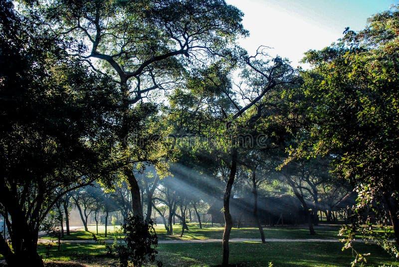 Sun-Strahlen durch die B?ume bei Sonnenaufgang lizenzfreies stockbild