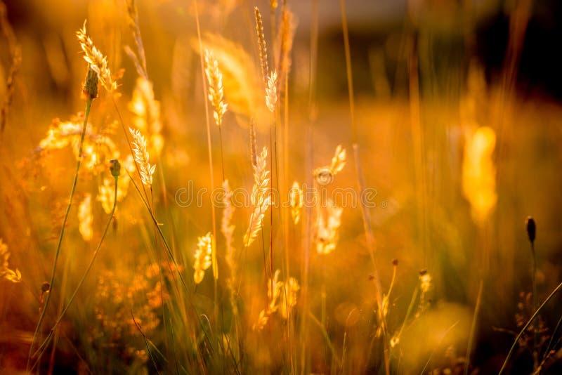 Sun-Strahlen gefangen genommen in den Gras-Stielen stockfoto