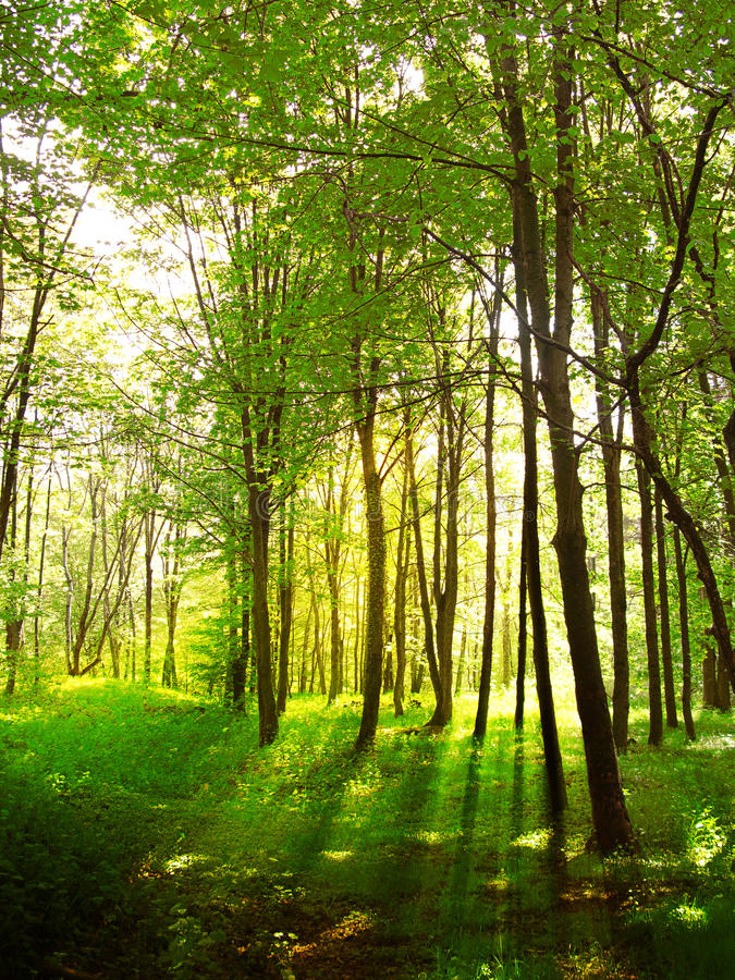 Sun-Strahlen im Wald stockfotos