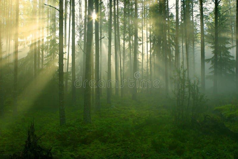 Sun-Strahlen im Wald. stockfotos