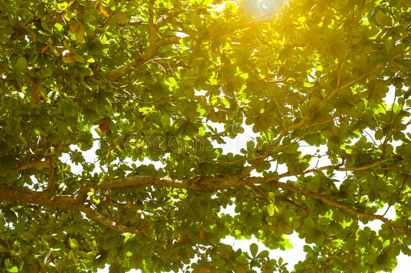 the Sun and sunlight with Branches and deep green foliage of tropical sea almond tree for background use. (Terminalia catappa, Be royalty free stock photos