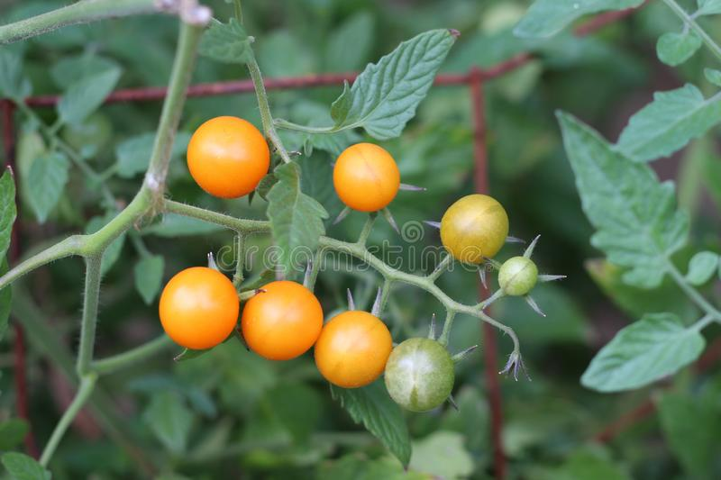 Sunsugar tomatoes on a vine, sweetest available, stock photo