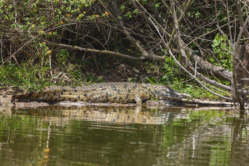 Sun tanning Aligator stock image