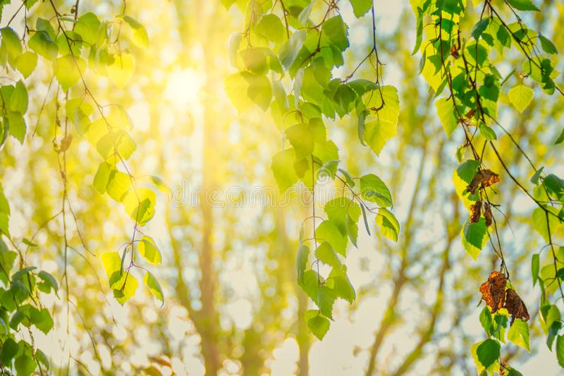 Sun in th birch branches with tender green leaves stock images
