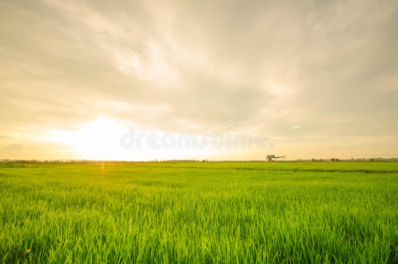 The sun is about to reach the horizon on rice. royalty free stock photography