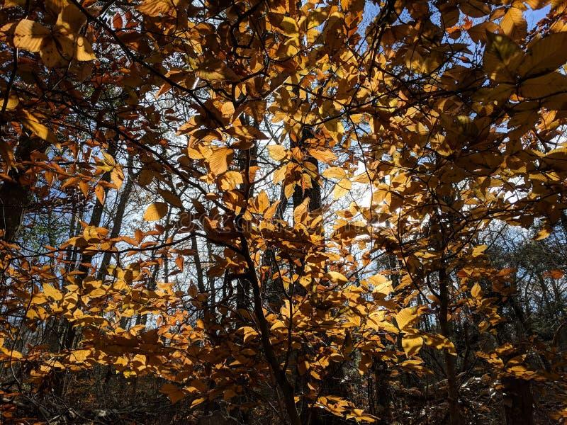 Sun tramite le foglie di autunno fotografia stock