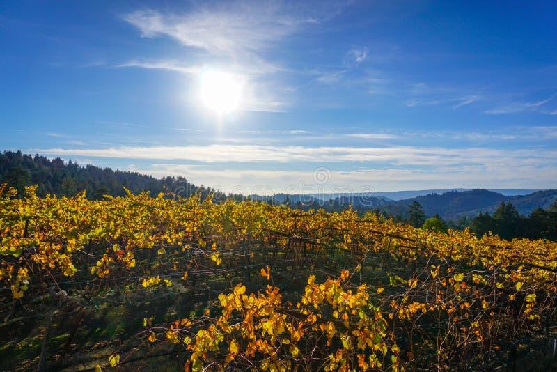 Sun transforme le vignoble en or images libres de droits