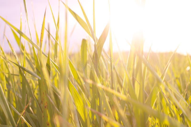 Sun a través de la hierba foto de archivo libre de regalías