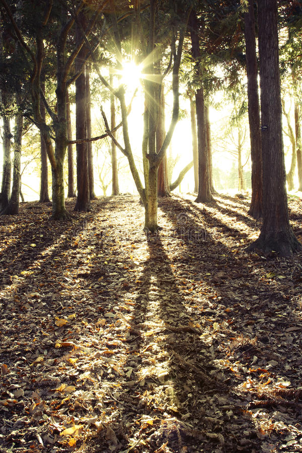 Sun In Trees Royalty Free Stock Image