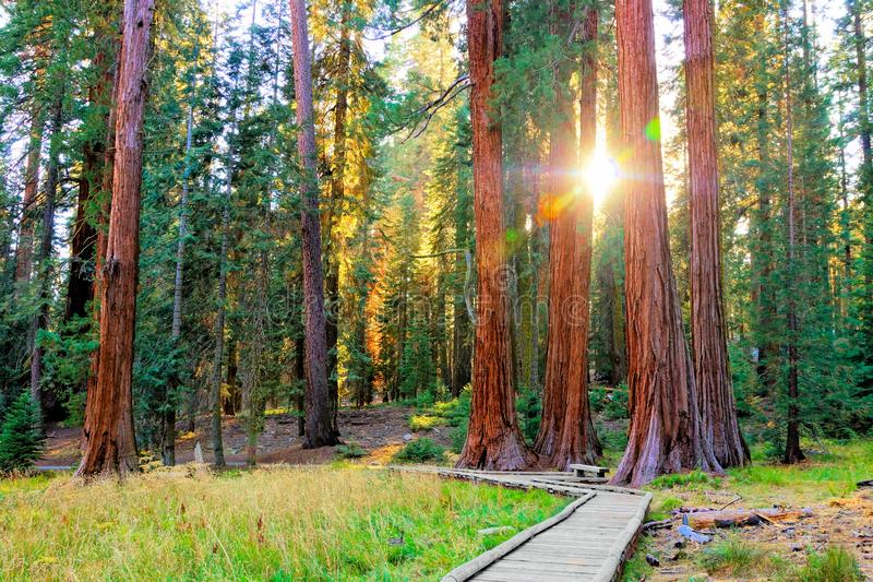 Sun through the trees of Sequoia National Park, California, USA royalty free stock photo