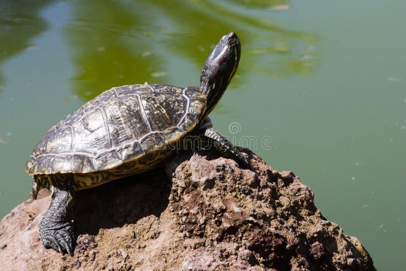 sunbath乌龟 免版税库存图片