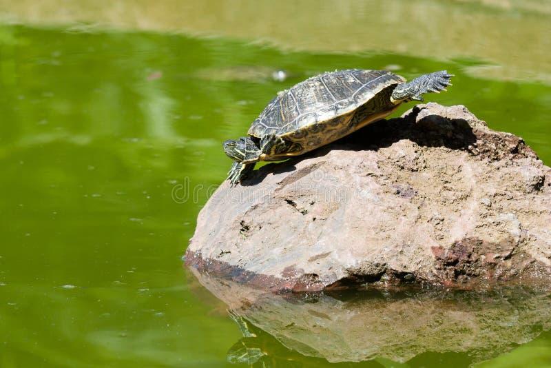 sunbath乌龟 库存图片