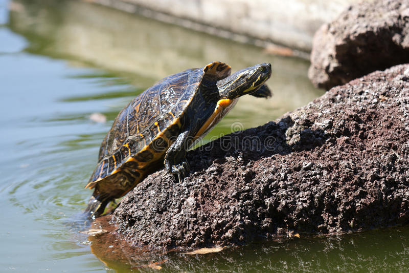 sunbath乌龟 图库摄影