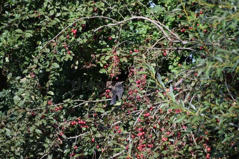 Sunbath the Blackbird in the Ornamental jabple bush obrazy royalty free