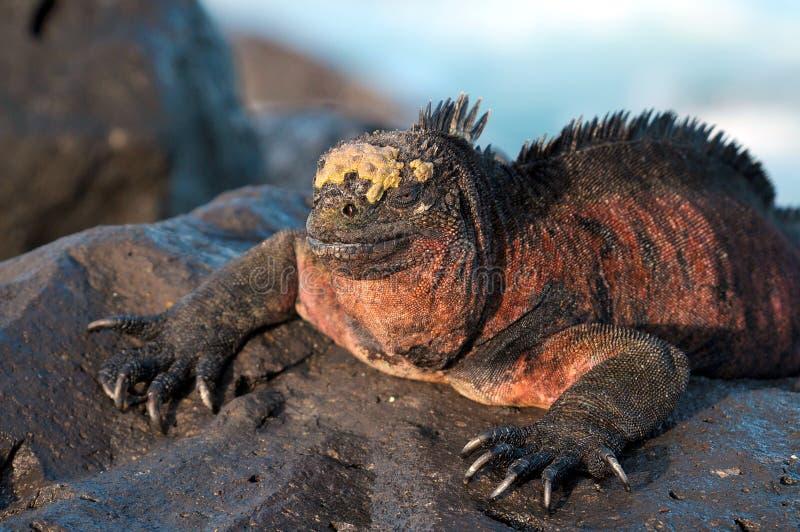 Sunbath de uma iguana marinha imagens de stock
