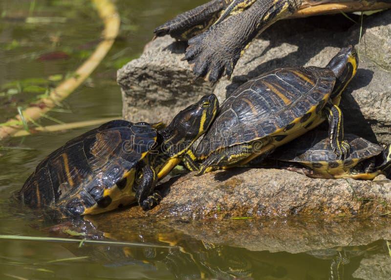 Sunbathing черепаха стоковые фотографии rf