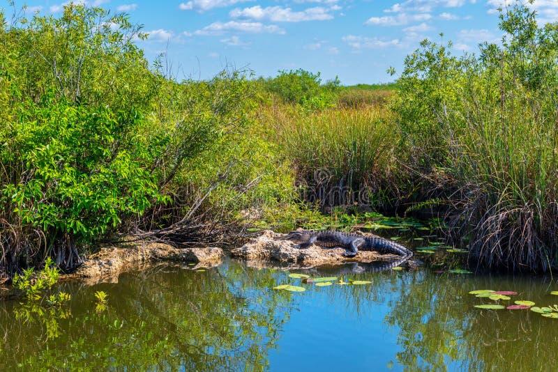 Sunbathing aligator w błota Floryda usa obrazy stock