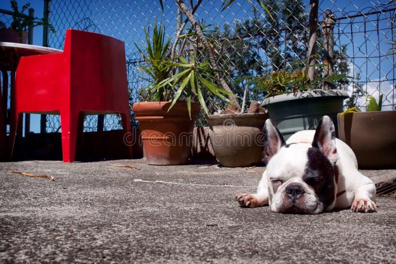 Sunbathing French Bulldog royalty free stock images