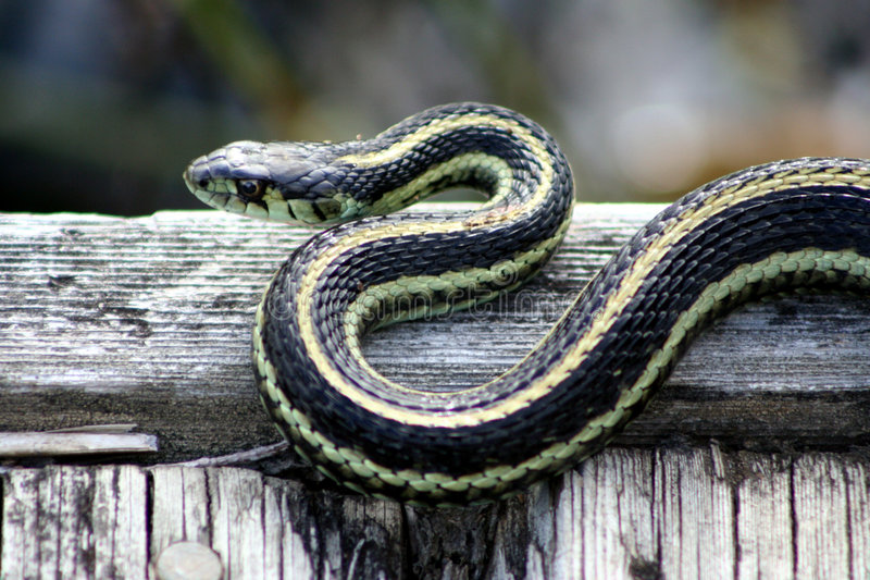 Sunbathing Garter snake. On walkway in wetland on Vancouver Island, British Columbia, July 2007 royalty free stock image
