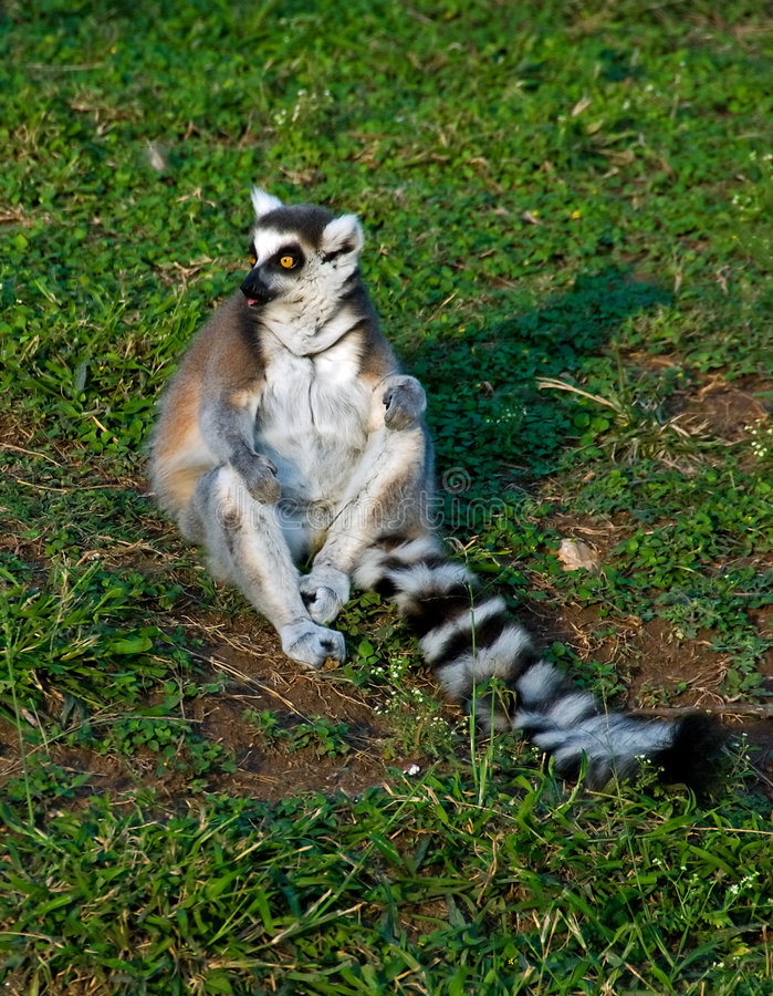 Sunbathing lemur. A sunbathing Ring-tailed lemur on a lawn with both hands on its knees royalty free stock photo