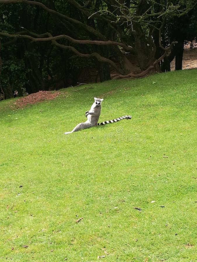 Sunbathing Lemur. Cute sunbathing lemur stock photography