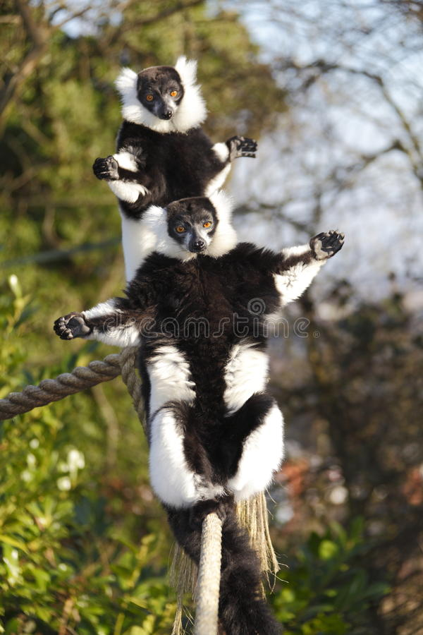 Sunbathing Lemurs royalty free stock image