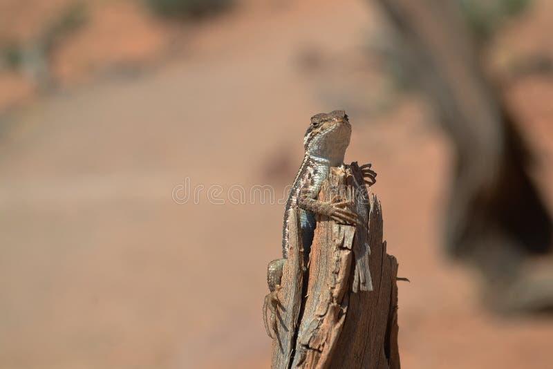 Sunbathing Lizard royalty free stock photos