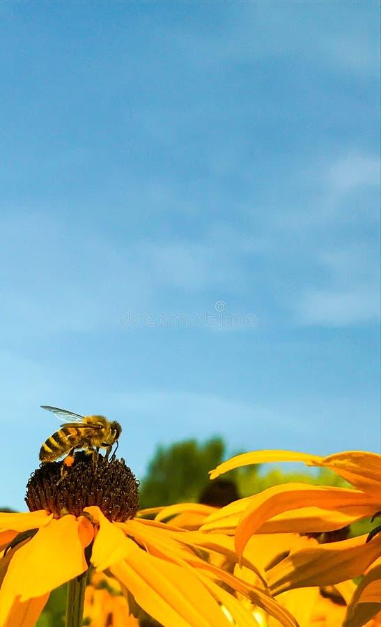 Sunbathing pszczoła obraz stock