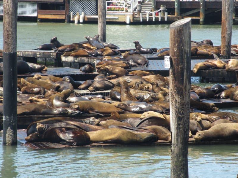 Sunbathing seals on Pier 39 in San Francisco, USA stock photos