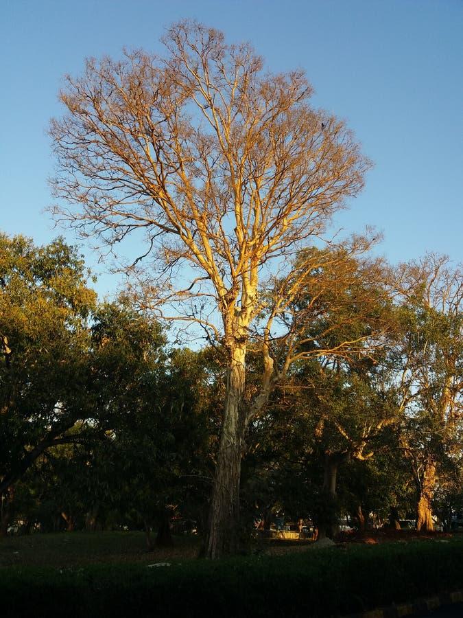 Sunbathing Tree with blue backdrop. Sunbathing tree green beauty life travel blue backdrop stock image