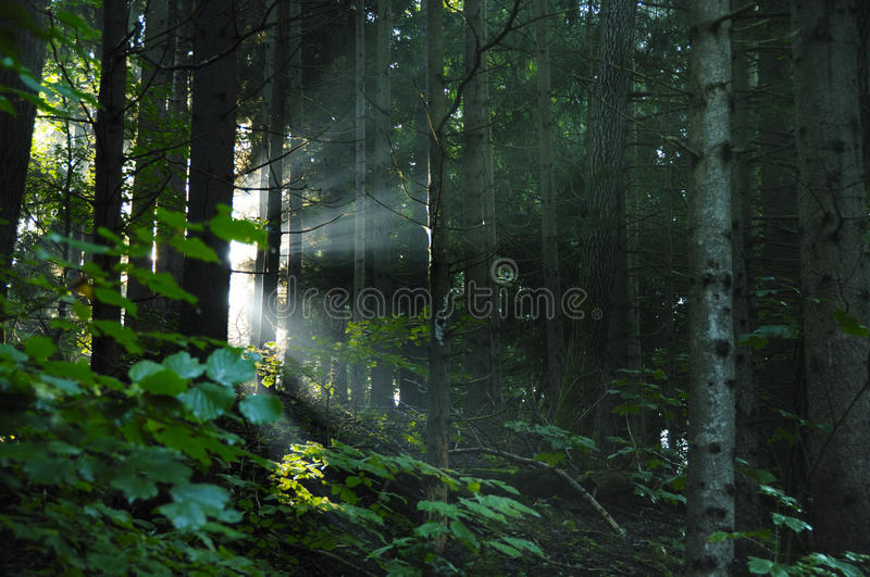 Sunbeam in the Forest. Sunbeams in an austrian forest, fall, Styria, Austria stock photo
