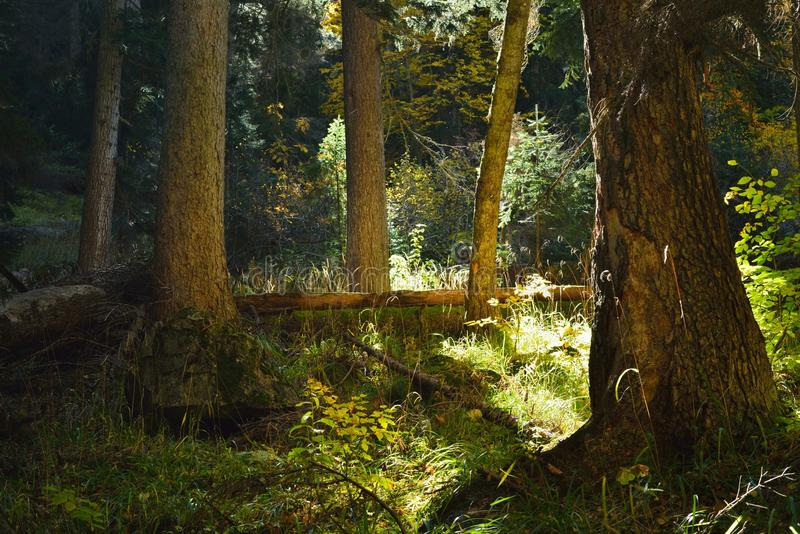 Sunbeam in forest stock photography