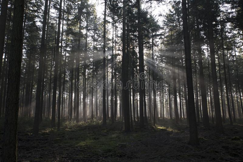 Sunbeam in forest in holland royalty free stock image