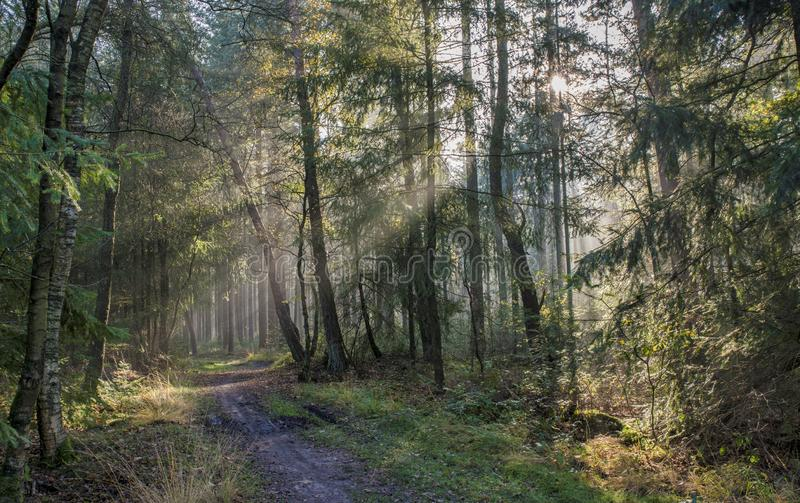 Sunbeam in forest in holland stock images