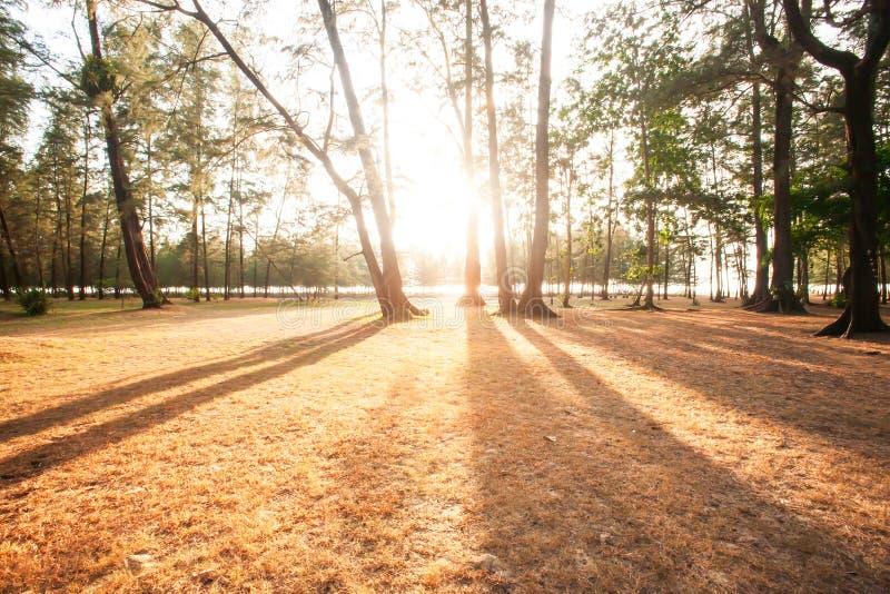 Sunbeam jaśnienie przez sosnowego lasu przy zmierzchem, abstrakcjonistyczny cień sosny na brązów polach Sceneria nadmorski w zimi fotografia stock
